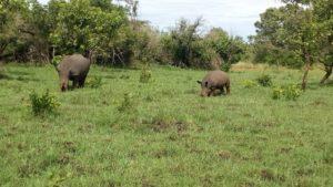 Rhinos Track at Uganda